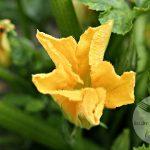 7069.900 150x150 - Pieczone kwiaty cukinii nadziewane łososiem