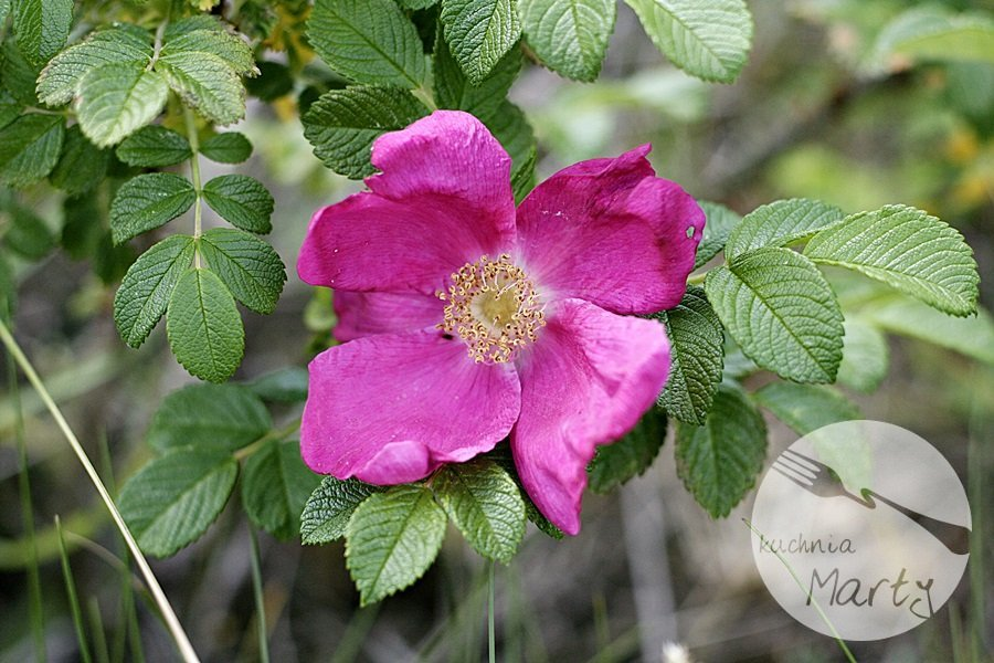 3896.900 - Niezwykłe właściwości dzikiej róży